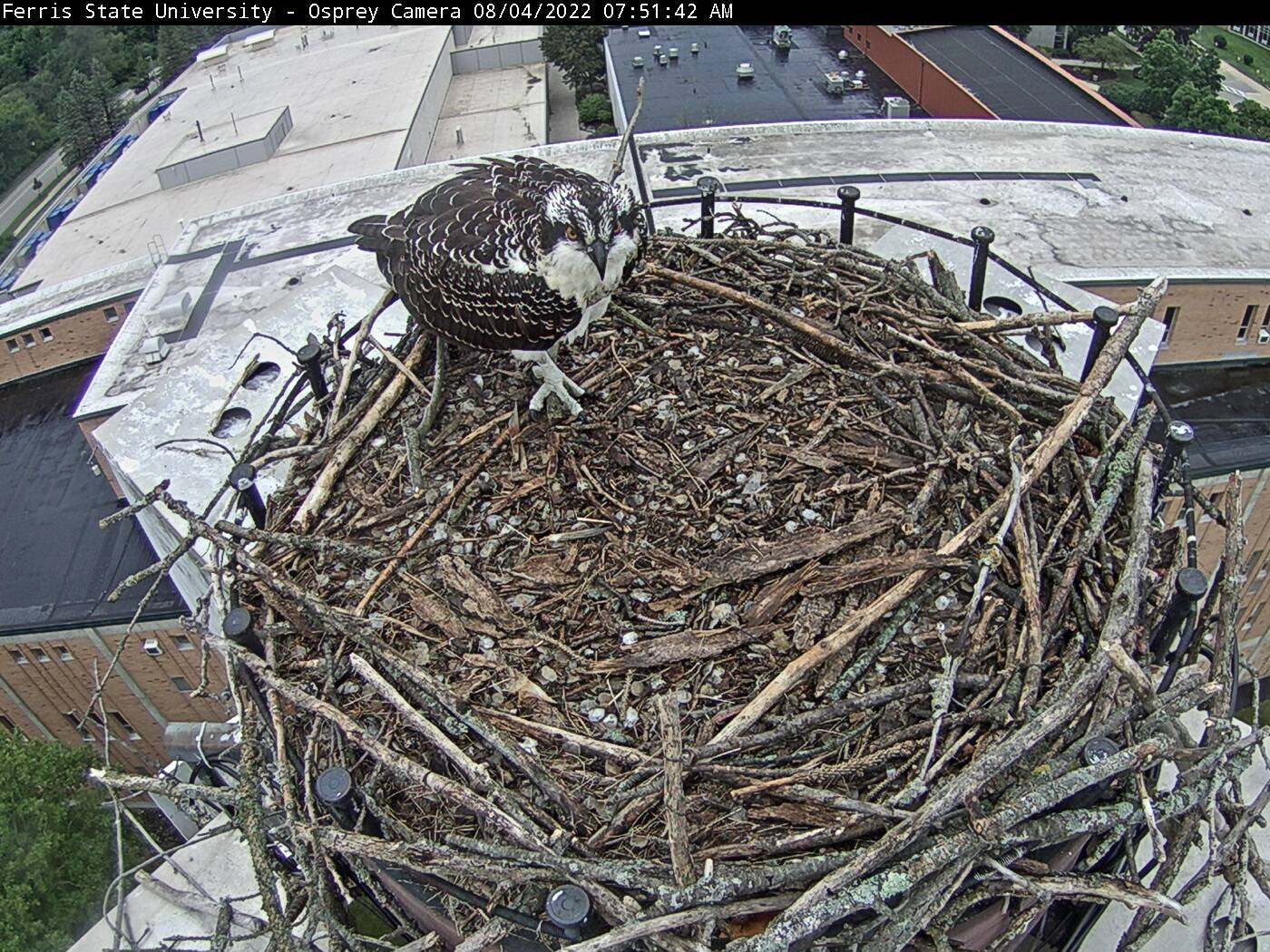 Osprey Webcam - Falco Pescatore Live webcamera